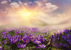 Magic carpet spring crocuses Stock Photo
