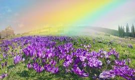 Magic carpet spring crocuses Stock Images