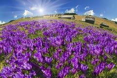 Magic carpet spring crocuses Royalty Free Stock Images