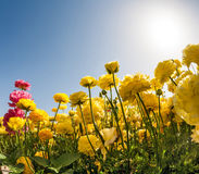 Magic country of sun, sky and flowers. Magic country of the sun, sky and flowers. The southern sun illuminates the fields of yellow  and pink buttercups Stock Photos