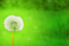 Magic Dandelion Green Royalty Free Stock Photography