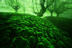 Magic deep forest with moss bubbles. And fog Stock Photo