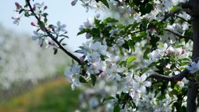 Magic of the divine, fragile beauty of the nature of the earth. Spring, a blossoming apple garden, shooting in motion, Apple trees, flowers, leaves glow in the stock video