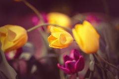 Magic fairy dreamy tulips with bokeh Royalty Free Stock Images