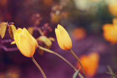 Magic fairy dreamy tulips with bokeh Stock Images