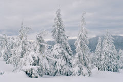 Magic fir trees covered by snow in mountains Stock Images
