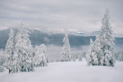 Magic fir trees covered by snow in mountains Stock Photography