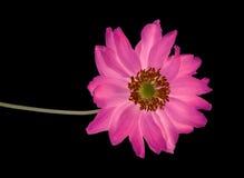 Magic  flower Royalty Free Stock Photo