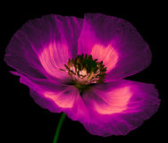 Magic flower poppy Stock Image