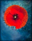 Magic flower - poppy Royalty Free Stock Photos