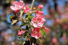 Magic flowers of apple royalty free stock images