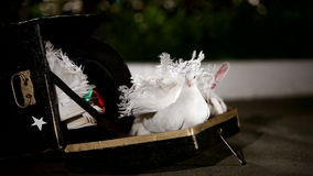 Magic focus with a rabbit and pigeons stock video