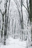 Magic foggy and frozen winter forest scene. Misty landscape back Stock Images