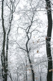 Magic foggy and frozen winter forest scene. Misty landscape back Stock Photos