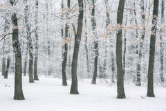 Magic foggy and frozen winter forest scene. Misty landscape back Royalty Free Stock Image