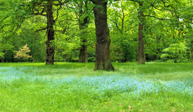 Magic forest. Oak trees with grass and blue flowers stock images