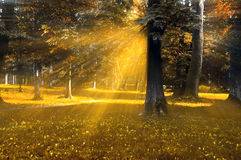 Magic forest. Forest with autumn trees and gold mystical rays of light like a concept for magic land Royalty Free Stock Photography