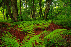 Magic forest, Czech monument Dvorsky les, Rychory, Krkonose. Green summer vegetation in highest Czech mountain. Fern leaves in dar Stock Photo