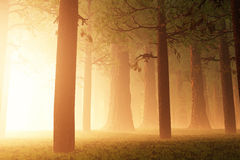 Magic Forest Royalty Free Stock Photography