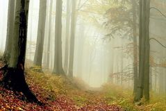 Magic forest path with autumnal mist. Misty forest walk in the mountains through the beech trees at the end of autumn season Stock Photos