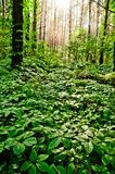 Magic forest with the virginia creeper all around royalty free stock image