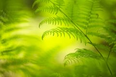 Magic fresh green fern leaves background Royalty Free Stock Image