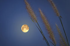 Magic full moon with grass. Beautiful magic full moon with grass in the evening Royalty Free Stock Photo