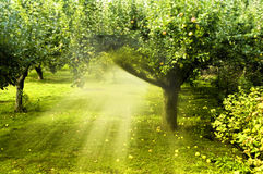 Magic garden. With apple trees with mystical rays of light Stock Photo