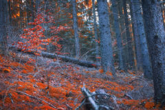 Magic gloomy dark forest landscape with bright red beech trees a Royalty Free Stock Photo