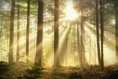Magic light forest Royalty Free Stock Images
