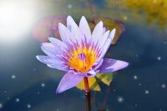 Magic lotus Royalty Free Stock Photo
