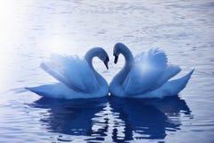 Magic moment of falling in love. Schwäne schwimmen schön auf dem See gegeneinander und machen ein Herz Stock Image