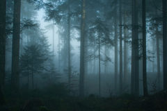 Magic morning spruce forest Royalty Free Stock Image