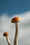 Magic mushroom couple 3 Stock Image