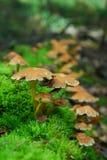 Magic mushrooms Royalty Free Stock Photo