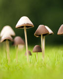 Magic mushrooms Stock Images