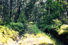 Magic and mysterious wild wood. High coniferous and deciduous trees. The pacified morning in the forest. Green background and land royalty free stock photography