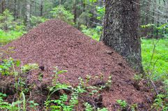 Huge ant hill in the forest. The big house for ants. Life of ants. stock photos