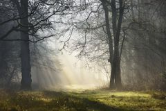 Magic mystical foggy forest with sunbeams in the morning. Beautiful magical mystical forestland with sunbeams in the morning sun. Walking through woodland royalty free stock image