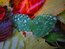 Magic nature. Autumn leaves after the rain with water drops Royalty Free Stock Photo
