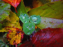 Magic nature. Autumn leaves after the rain with water drops Stock Photography