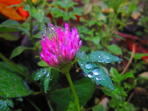 Magic nature. Blooming clover after the rain with water drops Royalty Free Stock Photos