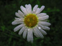 Magic nature. Daisy field after rain with drops on the petals Stock Image