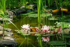 Magic of nature with pink water lilies or lotus flowers Marliacea Rosea. Nympheas are reflected in dark pond water. With beautiful bright green plants royalty free stock images
