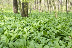 Magic nature place full of wild bear garlic, green leaves background royalty free stock images