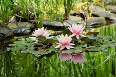Magic of nature with three pink water lilies or lotus flowers Marliacea Rosea after rain. Nympheas with water drops. Are reflected in dark pond water with royalty free stock photo
