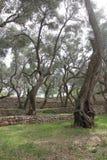 Magic Olive Garden Royalty Free Stock Photo
