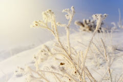 Magic picture - winter sun illuminates the icy branches of roseh Royalty Free Stock Photos