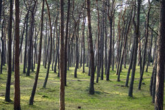 Magic Pine Forest Royalty Free Stock Images