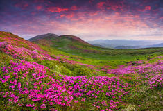 Free Magic Pink Rhododendron Flowers In The Mountains. Stock Photo - 42500930